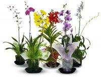 6 Mixed Blooming Orchids
