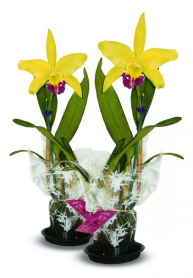 Combo - 2X Blooming Cattleya - Click Image to Close