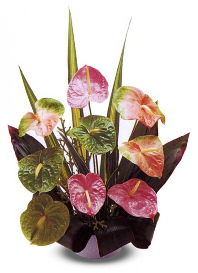 9 pc. Obake Mixed Anthuriums - Click Image to Close