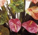Obake & Mixed Anthuriums