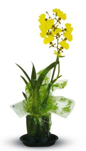 "4"" Blooming Oncidium"