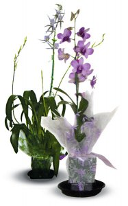 Combo - Blooming Dendrobium/ Intergeneric Orchid Plants