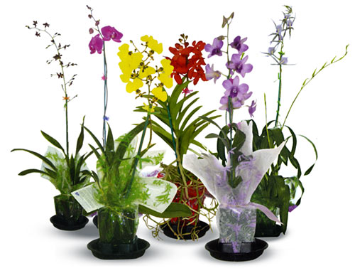 6 Mixed Blooming Orchids - Click Image to Close