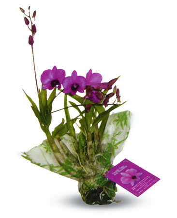 3 Mini Dendrobium Plants - Click Image to Close